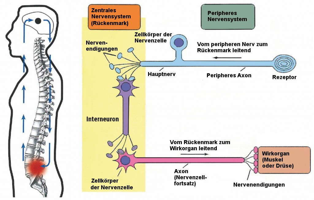 Ausgezeichnet Anatomie Des Peripheren Nervensystems Zeitgenössisch ...